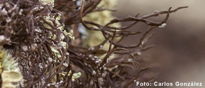 Roccella canariensis