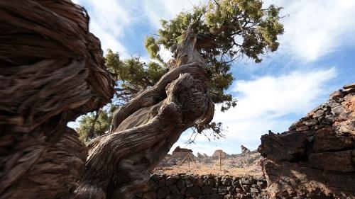 cedro canario del Parque Nacional del Teide